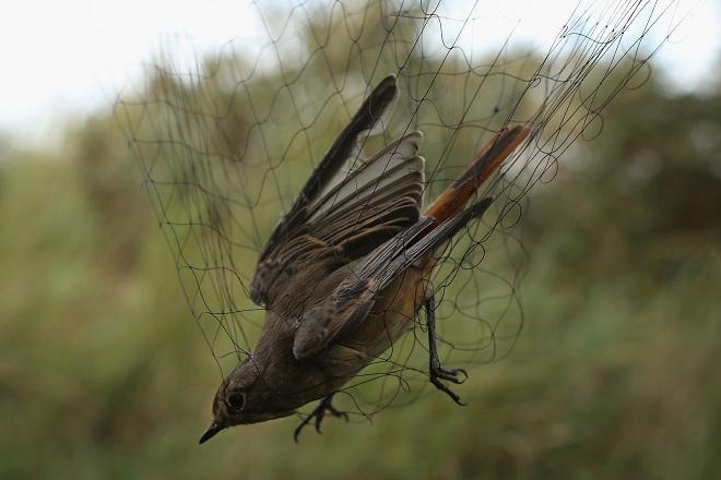 Птицелов - сети для ловли птиц